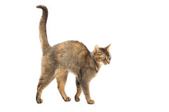 Purebred Abyssinian cat. On a white background stock photo