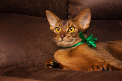 Purebred abyssinian cat with green bow lying on brown couch Royalty Free Stock Photo