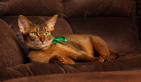 Purebred abyssinian cat with green bow lying on brown couch Royalty Free Stock Photography