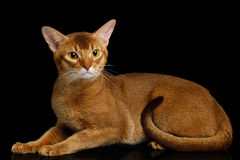 Purebred abyssinian cat isolated on black background Stock Images
