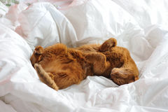 Purebred abyssinian cat lying on bed. Indoor Royalty Free Stock Image
