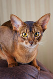 Purebred abyssinian cat lying on brown couch Royalty Free Stock Images