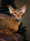 Purebred abyssinian cat lying on brown couch Stock Images