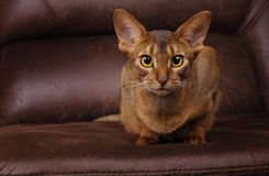 Purebred abyssinian cat lying on brown couch Stock Photo