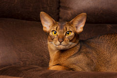 Purebred abyssinian cat lying on brown couch Stock Image