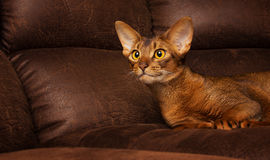 Purebred abyssinian cat lying on brown couch Royalty Free Stock Photos