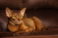 Purebred abyssinian cat lying on brown couch Royalty Free Stock Image