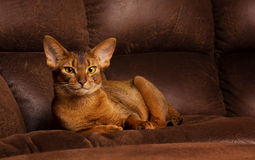 Purebred abyssinian cat lying on brown couch Royalty Free Stock Photography