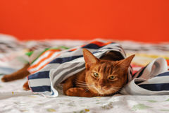 Purebred abyssinian cat lying on couch. Indoor Stock Photo