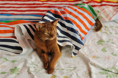 Purebred abyssinian cat lying on couch. Indoor Royalty Free Stock Images
