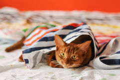 Purebred abyssinian cat lying on couch. Indoor Stock Photos