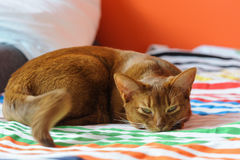 Purebred abyssinian cat lying on couch. Indoor Stock Image