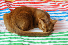 Purebred abyssinian cat lying on couch. Indoor Royalty Free Stock Photography