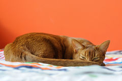 Purebred abyssinian cat lying on couch. Indoor Royalty Free Stock Photo