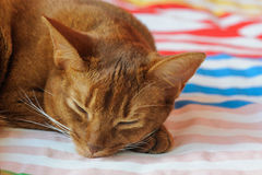 Purebred abyssinian cat lying on couch. Indoor Stock Photography