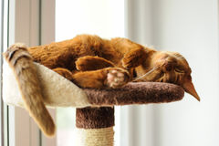 Purebred abyssinian cat lying on scratching post. Indoor Stock Photo