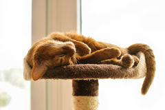 Purebred abyssinian cat lying on scratching post. Indoor Stock Photos