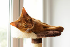 Purebred abyssinian cat lying on scratching post. Indoor Royalty Free Stock Photos
