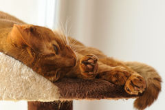 Purebred abyssinian cat lying on scratching post. Indoor Royalty Free Stock Photo