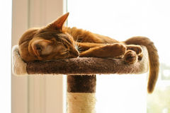 Purebred abyssinian cat lying on scratching post. Indoor Royalty Free Stock Image
