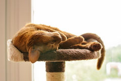 Purebred abyssinian cat lying on scratching post. Indoor Royalty Free Stock Photography