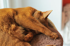 Purebred abyssinian cat lying on scratching post. Purebred abyssinian cat sleeping on scratching post, indoor Royalty Free Stock Images