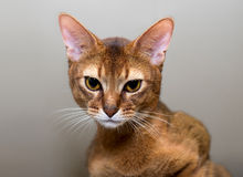 Purebred abyssinian cat royalty free stock photography