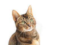 Purebred Abyssinian Portrait Royalty Free Stock Photography