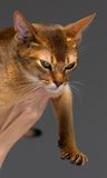 Purebred abyssinian young cat portrait Royalty Free Stock Photography