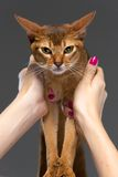 Purebred abyssinian young cat portrait Royalty Free Stock Image