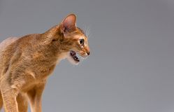 Purebred abyssinian young cat portrait Royalty Free Stock Images