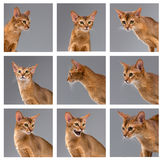 Purebred abyssinian young cat portrait on gray Royalty Free Stock Photos