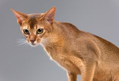 Purebred abyssinian young cat portrait Stock Photography