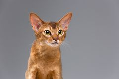 Purebred abyssinian young cat portrait Stock Photo