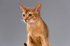 Purebred abyssinian young cat portrait Stock Photos