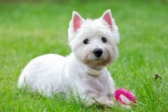 Purebred adult West Highland White Terrier dog on grass in the garden on a sunny day. Puppies are played on the lawn royalty free stock images