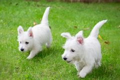 Purebred adult West Highland White Terrier dog on grass in the garden on a sunny day. Puppies are played on the lawn Stock Photos