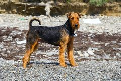 Purebred airedale terrier outdoors Stock Image