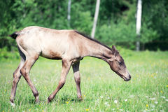 Purebred akhal-teke foal in the pasture royalty free stock photo