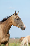 Purebred akhal-teke horse portrait. In summer stock photo