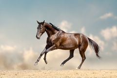 Purebred akhal-teke stallion Stock Photography