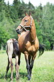 Purebred akhalteke dam with foal in the field Royalty Free Stock Photography