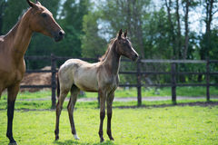 Purebred akhalteke dam with foal in the paddock Royalty Free Stock Photos
