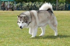 Purebred Alaskan Malamute dog Stock Photos
