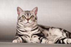 Purebred american shorthaired cat portrait Stock Photo