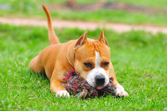 Purebred American Staffordshire Terrier. American Staffordshire Terrier on a grass stock photo