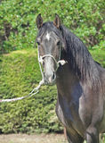 Purebred  Andalusian grey young stallion Stock Photography