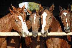 Purebred anglo-arabian chestnut horses standing at the barn door. Group of nice thoroughbred fillies standing at the stable door royalty free stock photo