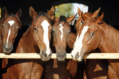 Purebred anglo-arabian chestnut horses standing at the barn door. Group of nice thoroughbred fillies standing at the stable door royalty free stock images