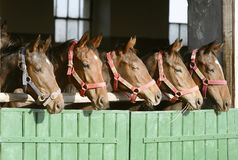 Purebred anglo-arabian chestnut horses standing at the barn door. Group of nice thoroughbred foals looking over stable door Stock Image